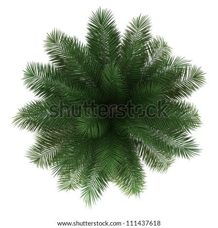 top view of chilean wine palm tree isolated on white background - stock photo