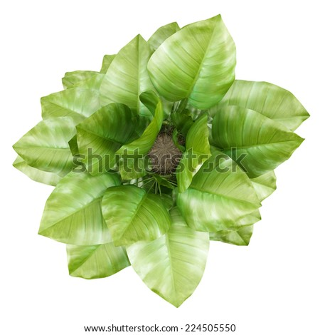 top view of climbing houseplant in pot isolated on white background - stock photo