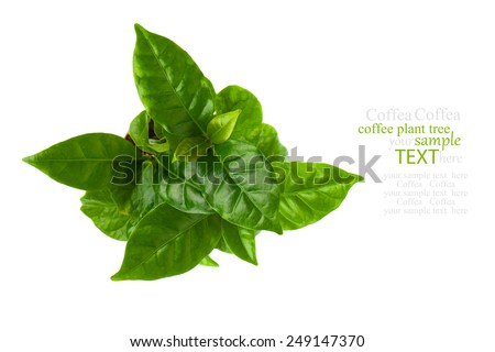 top view of coffee plant tree, isolated on white background - stock photo