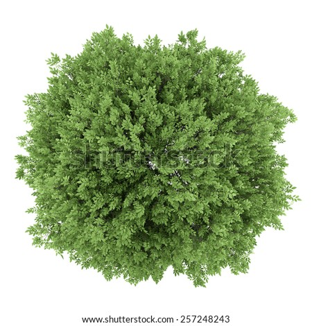 top view of common walnut tree isolated on white background