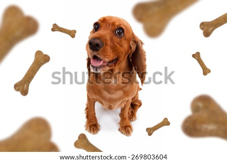 Top view of dog food treats falling, dropping down, cocker looking, isolated on white background.