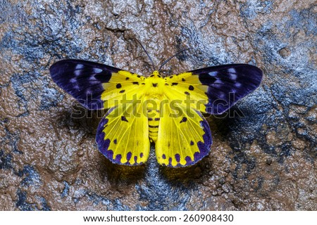 Top view of Dysphania militaris moths on wet rock - stock photo