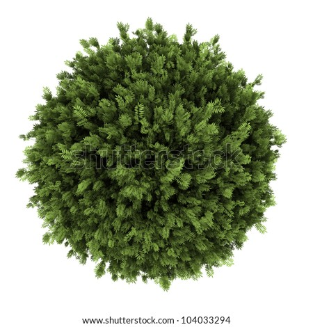 top view of elderberry bush isolated on white background