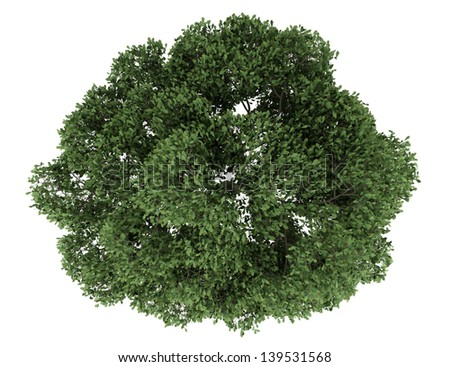 top view of english oak tree isolated on white background