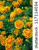 Top view of French marigold flower (Tagetes patula L.) - stock photo