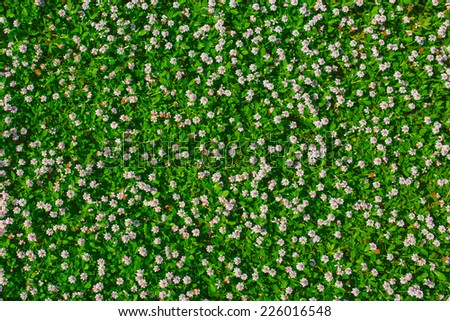 Top view of green grass with small white flowers background texture - stock photo