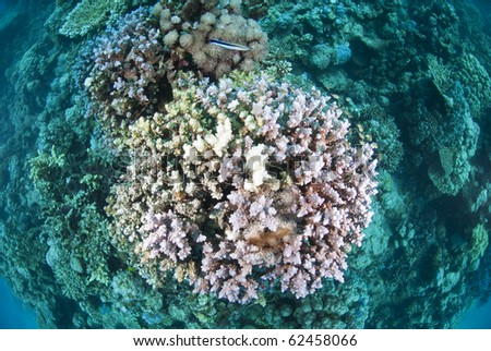 Top view of hard coral with dead and bleached branches. Shaab Ohrob, Southern Red Sea, Egypt.