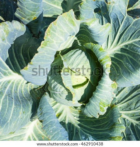 top view of head of white cabbage in garden illuminated by sun