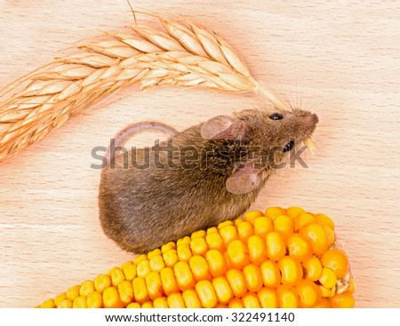 Top view of house mouse (Mus musculus) carrying wheat ear on wooden background - stock photo