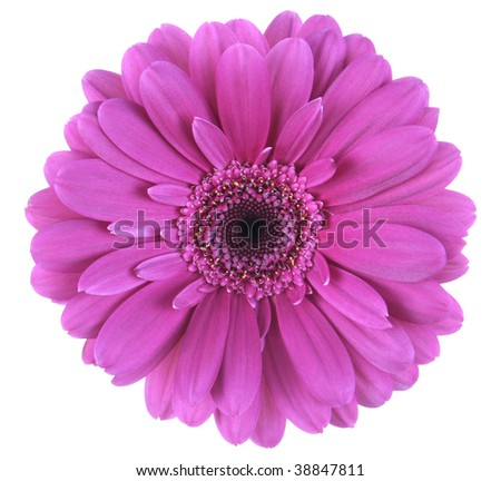 Top view of magenta gerbera daisy, isolated on white with clipping path. - stock photo