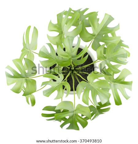 top view of monsteria plant in pot isolated on white background - stock photo