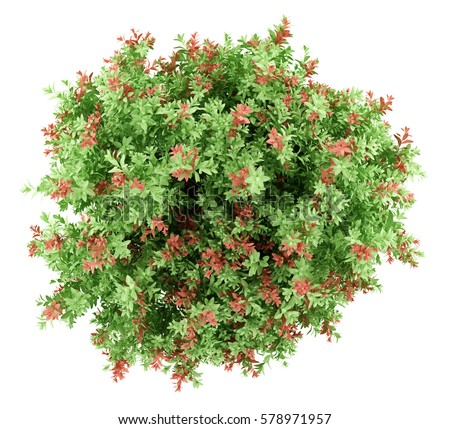 Top View Of Pidgeon Berry Shrub Plant Isolated On White Background 3d Illustration