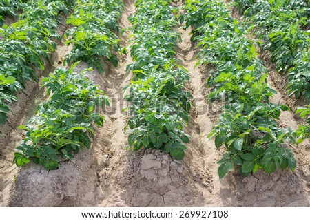 Top view of potato plantation furrow rows, green leafs, growing plant - stock photo
