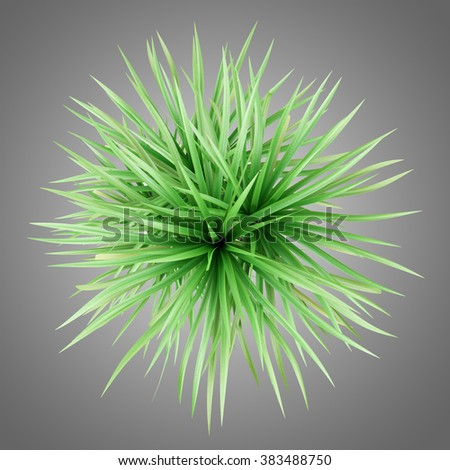 top view of potted dracena palnt isolated on gray background - stock photo