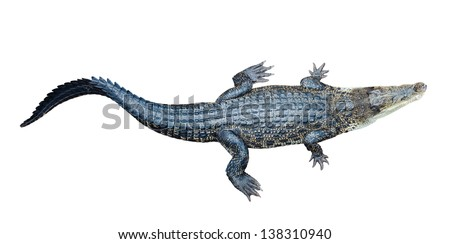 Top view of Saltwater crocodile (Crocodylus porosus), isolated on white background - stock photo