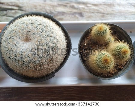 top view of small cactus in vase on white plate