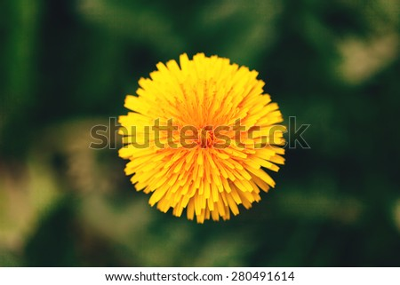 Top view of sunny yellow dandelion flower, close up - stock photo