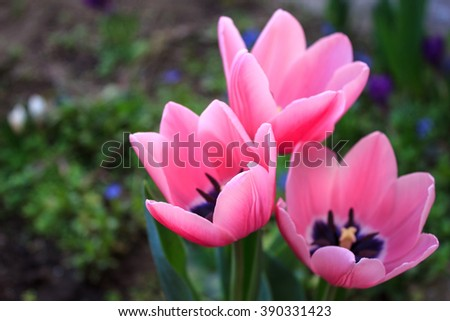 Top view of three pink tulips in botanical garden, blue flowers background