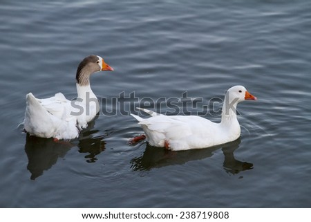 Top view of two white ducks swimming on a pond. - stock photo