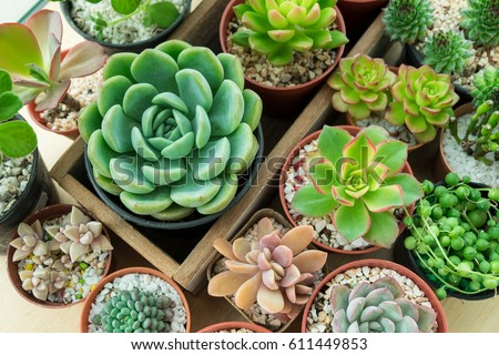 Top View Of Various Types Of Succulent Plant Pot  Echeveria, Sempervivum, Flowering  House