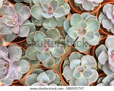 Top view on Pearl of nurnbery, rosette succulent plants in pots.