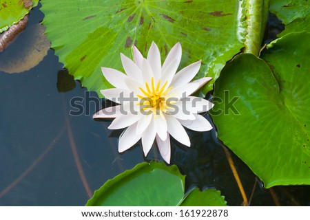 top view water lily and leaves beautiful background - stock photo