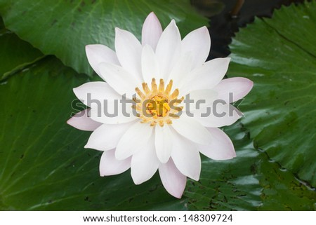top view water lily and pollen beautiful - stock photo
