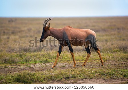 Topi, a grassland antelope on savanna in Africa. Safari in Serengeti, Tanzania