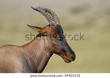 Topi Antelope (Damaliscus lunatus) portrait, Kenya, Masai Mara - stock photo