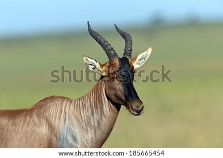 Topi antelope in Masai Mara National Park. Kenya - stock photo