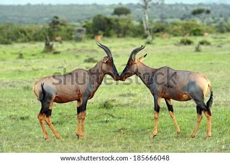 Topi antelope in Masai Mara National Park. Kenya, Africa - stock photo