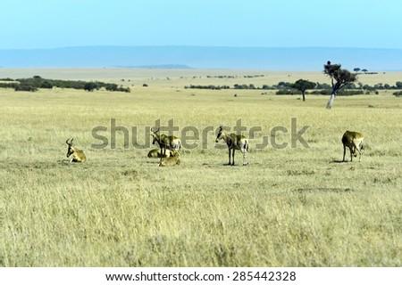Topi antelope in the African savannah Masai Mara - stock photo