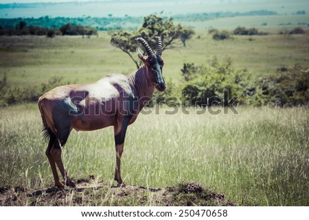 Topi Antelope in the National Reserve of Africa, Kenya - stock photo