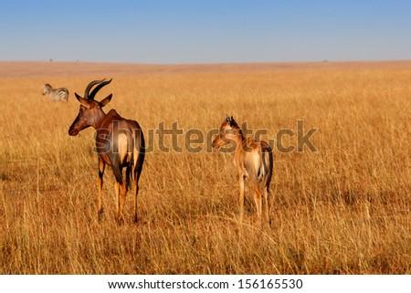 Topi Antelope mother with her calf at sunrise in Masai Mara, Kenya - stock photo