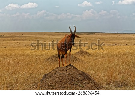 Topi Antelope Standing on termite mound hill - stock photo