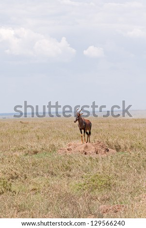 Topi antelope stands on clay heap in savanna plain against cloudy sky and distant mountain view background. Serengeti National Park, Great Rift Valley, Tanzania, Africa.