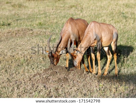 Topi antelopes digging the ant hill - stock photo