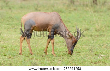 "Topi grazing (scientific name: Damaliscus lunatus jimela or ""Nyamera"" in Swaheli) in the Serengeti National park, Tanzania"