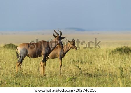 Topi mother with calf, Masai Mara National Reserve, Kenya - stock photo