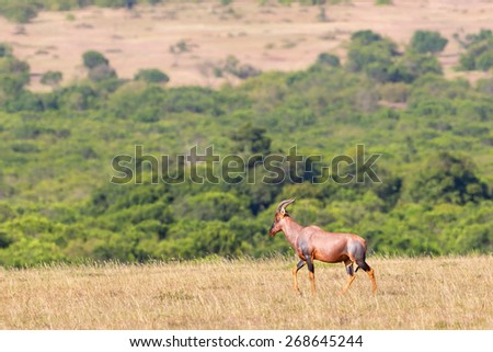 Topi walking on the savanna landscape - stock photo