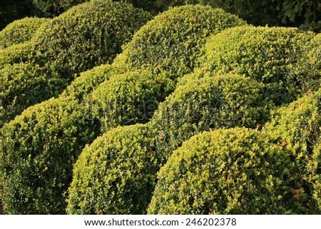 Topiary box hedge - stock photo