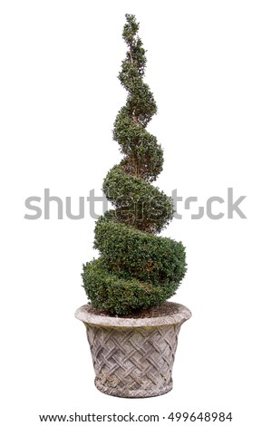 Topiary. Box spiral isolated on white background.