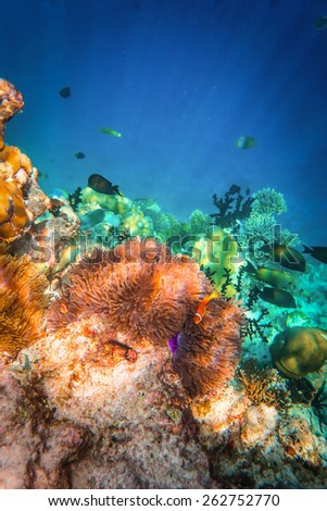 Topical saltwater fish ,clownfish - Anemonefish. Maldives - Ocean coral reef. - stock photo