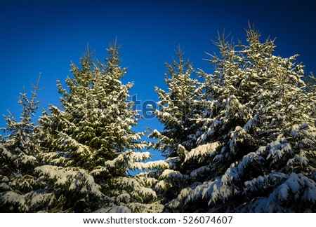 tops of high spruces in snow