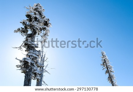 Tops of Pines at Mount Rainier National Park - stock photo