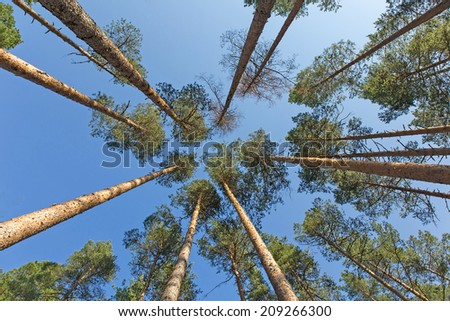tops of the pines against the blue sky - stock photo
