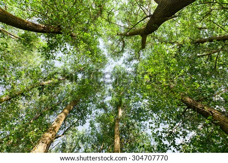 Tops of the trees in the summer wild forest. - stock photo
