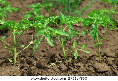 Tops of tomatoes growing in garden - stock photo