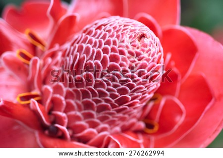 Torch Ginger (Phaeomeria Magnifica, Etlingera Elatior) from jungle, Amazonia, Ecuador  - stock photo