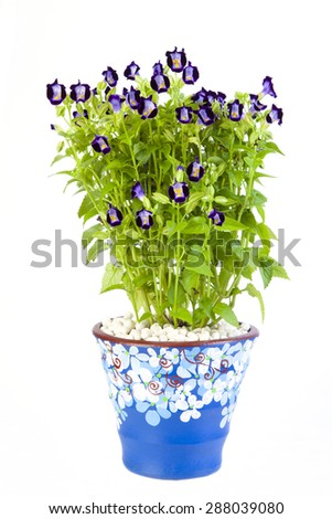 Torenia flower isolated on white background.